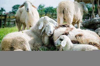 Farkasok végezhettek a Mátrában legelésző bárányokkal