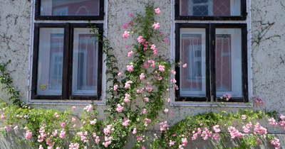 Több évtizedes, szép történet a rózsáké a fehérvári virágos házon