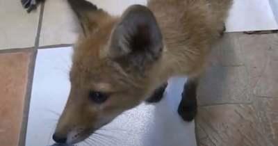Édes videó: a tatabányai állatvédők kisrókát mentettek – nem találod ki, mivel nyugtatják