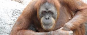 Elpusztult a világ legidősebb orangutánja