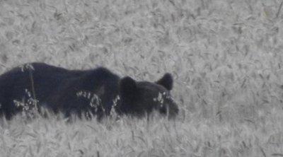 Pest megyébe ért a medve – László: Azt hittem hallucinálok, mikor megláttam