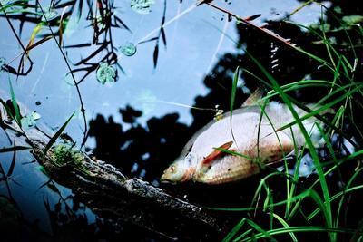Veszélyes kék alga pusztítja a Velencei-tó halállományát