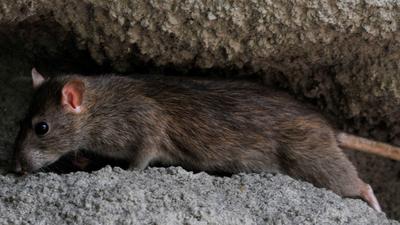Patkánytámadás Bukarestben