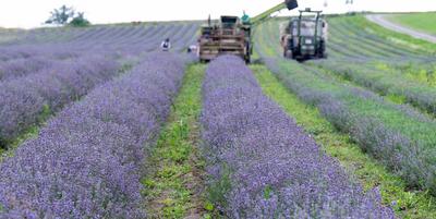 Veszélyes növények közé sorolná a levendulát az Európai Bizottság
