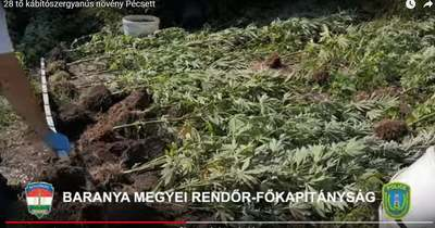 Kannabisztermesztőre csaptak le a rendőrök Pécsett – Videó