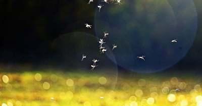 Az eső miatt számolni kell a szúnyogáradattal – a Balatonnál újra irtják őket