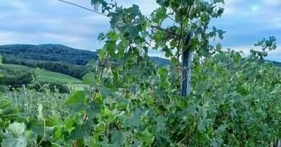Letarolta a villámvihar a dél-balatoni szőlőket