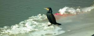 Elpusztítanak közel ezer kárókatonát, mert naponta 1 tonna halat esznek ki a tóból