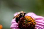 9 növény, amellyel megmenthetjük a méheket