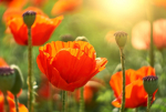 5 meglepő tény a nyár legkedveltebb virágáról, a pipacsról