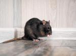 Patkányveszély: mit tehetünk ellenük az otthonunk védelme érdekében?